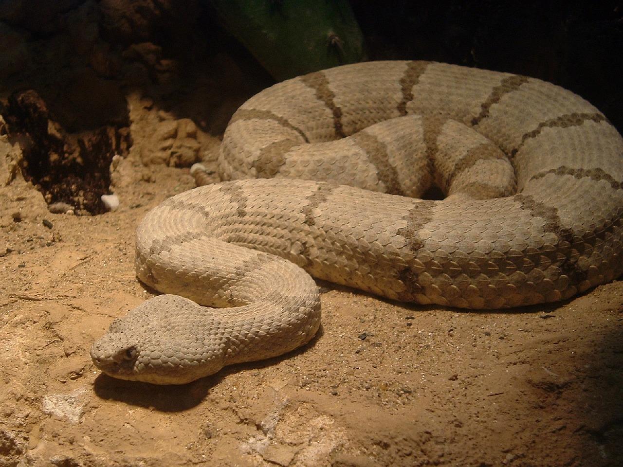 Wyjątkowy wąż czyli grzechotnik diamentowy