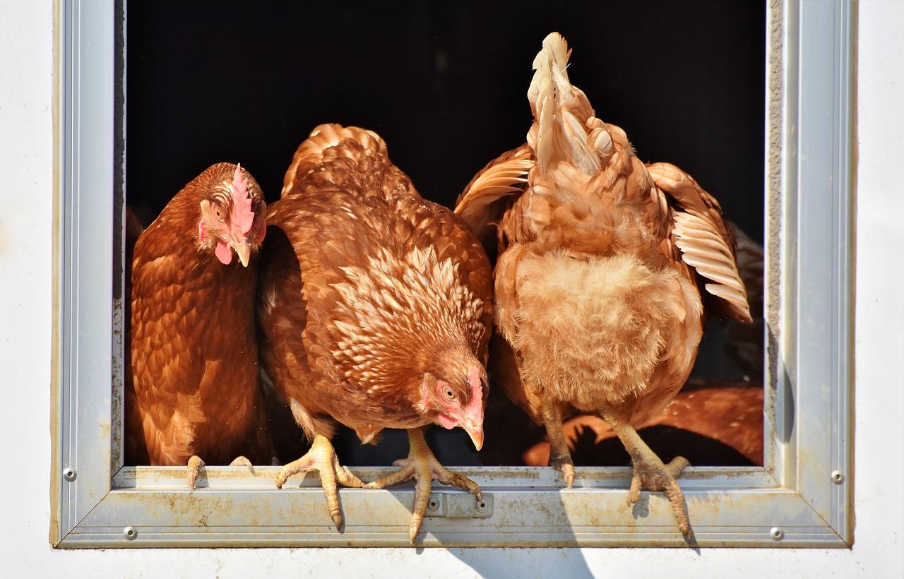 Idealne uzupełnienie paszy, dla zwierząt hodowlanych. Tani i wydajny dodatek, idealny dla wielu gatunków zwierząt.
